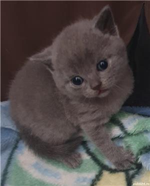 Pisici british shorthair - imagine 1