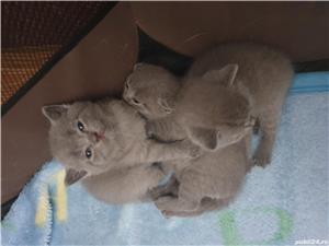 Pisici british shorthair - imagine 5