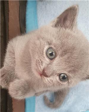 Pisici british shorthair - imagine 3