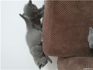 Pisici british shorthair - imagine 8