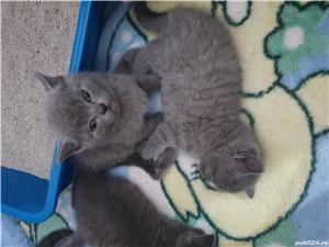 Pisici british shorthair - imagine 9