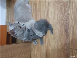 Pisici british shorthair - imagine 10