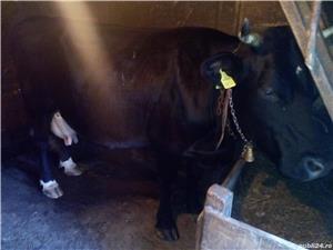 Vaca de vanzare - imagine 3