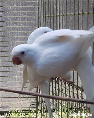 Printesa de Wales, Calugar alb si alte specii de Papagali - imagine 4