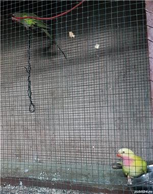 Printesa de Wales, Calugar alb si alte specii de Papagali - imagine 2