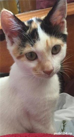 Pisicuta Pufulet spre adoptie - imagine 2