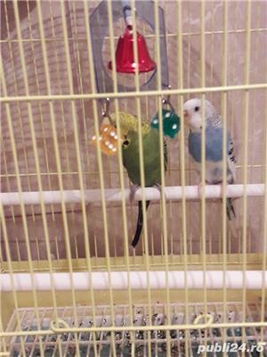 vând papagal cu tot cușcă două papagali - imagine 4