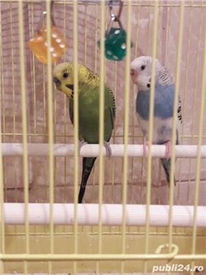 vând papagal cu tot cușcă două papagali - imagine 2