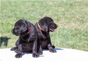pui Labrador Retriever cu Pedegree A , negri la 2.5 luni si ciocolatii - imagine 3