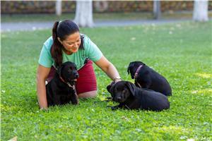 pui Labrador Retriever cu Pedegree A , negri la 2.5 luni si ciocolatii - imagine 7