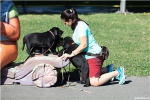 pui Labrador Retriever cu Pedegree A , negri la 2.5 luni si ciocolatii - imagine 6