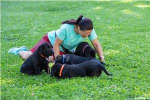 pui Labrador Retriever cu Pedegree A , negri la 2.5 luni si ciocolatii - imagine 8