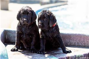 pui Labrador Retriever cu Pedegree A , negri la 2.5 luni si ciocolatii - imagine 9