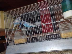 Vând papagali  - imagine 3