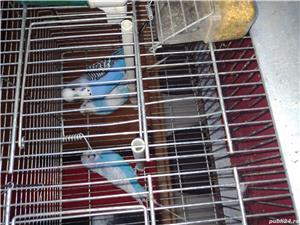 Vând papagali  - imagine 4