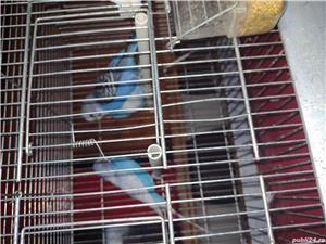 Vând papagali  - imagine 5