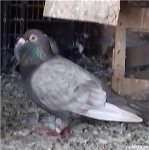 Porumbei voiajori stil vechi  - imagine 2