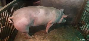 Vând porci pentru Craciun - imagine 3