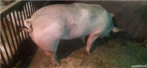 Vând porci pentru Craciun - imagine 1