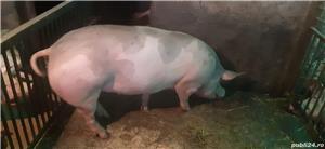 Vând porci pentru Craciun - imagine 4
