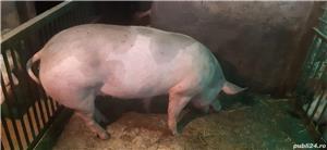 Vând porci pentru Craciun - imagine 5