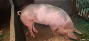 Vând porci pentru Craciun - imagine 6