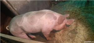 Vând porci pentru Craciun - imagine 8