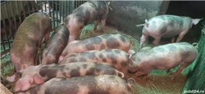 De vânzare porci din rasa pietrain - imagine 2
