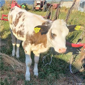 Vand vitea,rasa Baltata romaneasca,in varsta de 4 luni - imagine 2