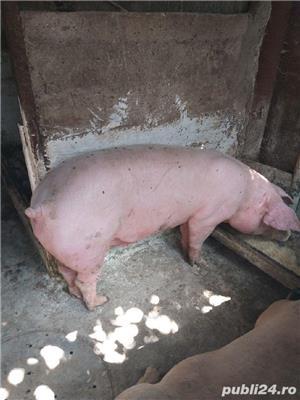 vind porci de carne  - imagine 4