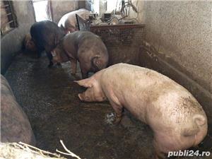 Porci bio bio - imagine 3
