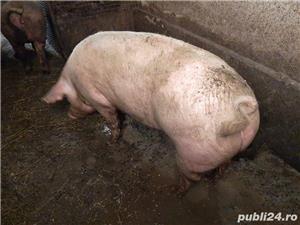 Porci bio bio - imagine 7