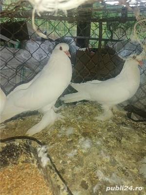 Porumbei încălțați 4 perechi  - imagine 2