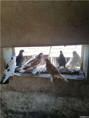 Porumbei încălțați 4 perechi  - imagine 5