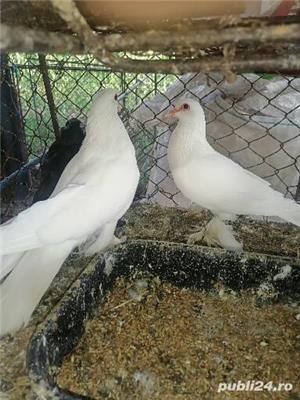 Porumbei încălțați 4 perechi  - imagine 3