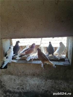 Porumbei încălțați 4 perechi  - imagine 1