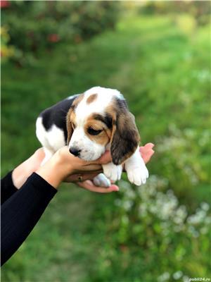 Pui beagle tricolor - imagine 5