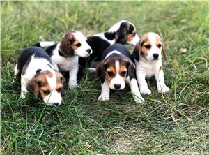 Pui beagle tricolor - imagine 6