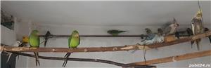 Printesa de Wales, Calugar alb si alte specii de Papagali - imagine 9