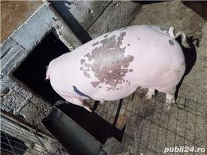 Vând Porci/Rasă de carne  13 lei kg  Ulmeni,Teleorman    - imagine 7
