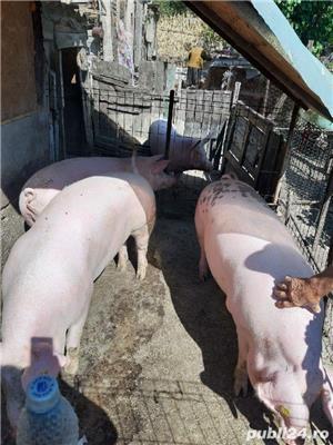 Vând Porci/Rasă de carne  13 lei kg  Ulmeni,Teleorman    - imagine 1
