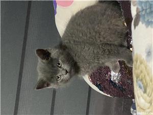 Vând pisici brithis - imagine 4