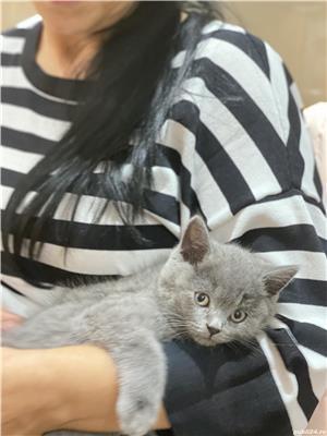 Vând pisici brithis - imagine 3