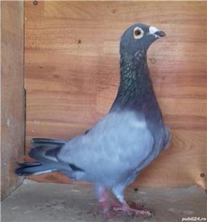 Porumbei voiajori  - imagine 6