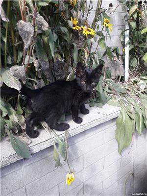 Adoptie-pui de pisica - imagine 1