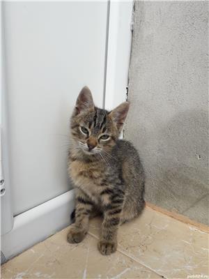 Adoptie-pui de pisica - imagine 2