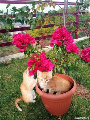 ofer gratis pui de pisica - imagine 5