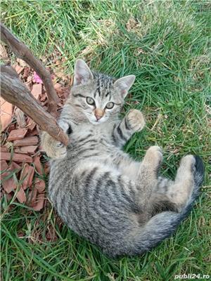 ofer gratis pui de pisica - imagine 3