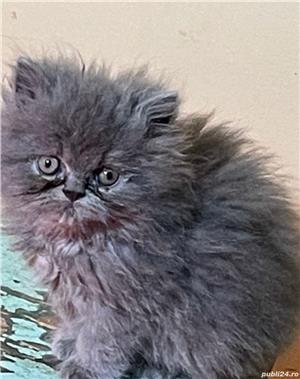 Pui pisica Persana - imagine 3