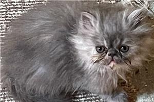 Pui pisica Persana - imagine 5